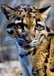 Clouded Leopard 3 by ST77