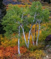 Green Aspens and Fall by mjohanson