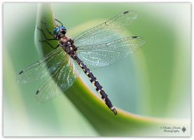 Australian Emerald Dragonfly  by bast4cats