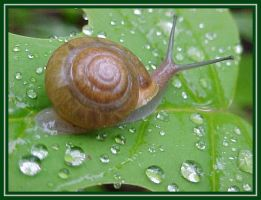 Snail in the rain by krazykrissy