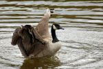 Canada Goose 7475 by GhostInThePines