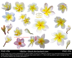 Frangipani by YBsilon-Stock