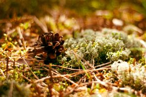 Conifer cone in the moss by Anna-Belash