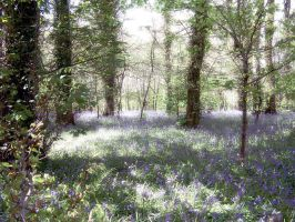 Bluebell Wood by Mike-of-Cornwall