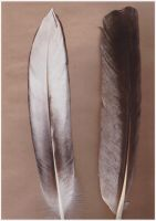 Great White Pelican Feathers by Suvera