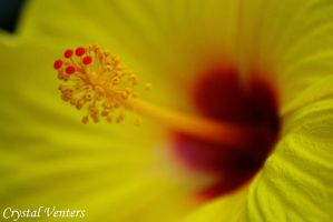 Yellow Hibiscus 2 by poetcrystaldawn