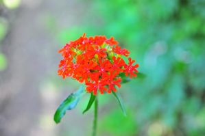 Red flower by lalylaura