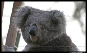 Koala by TVD-Photography