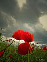 Poppies by Ibilicious