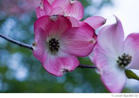 Pink Dogwood Cool II by butterfly36rs