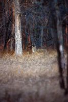 Coyote stare by wildfotog