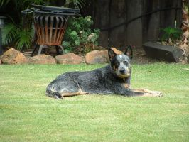 Queensland Blue Cattle Dog by chrono2k