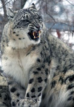 snow leopard mad. by theycome