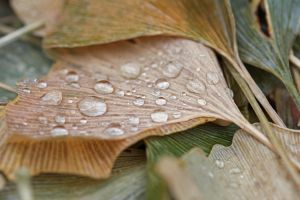 Rain drops on ginkgo leaves 2 by greyrowan