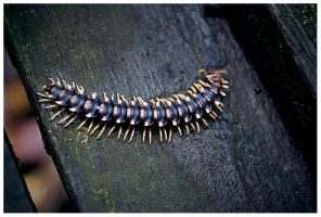 Centipede by PvP
