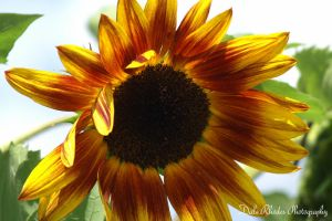 SunFlower by DalePhotography