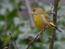 Grainy Greenfinch by WestLothian
