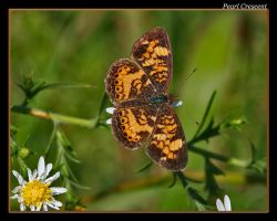 Pearl Crescent 08 by boron