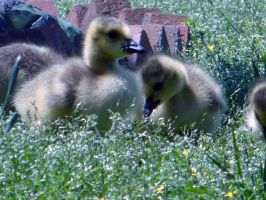 Goslings by ZaidaCrescent