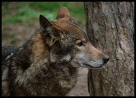 eurasian wolf by morho