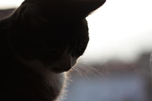 kitty cat by SilhouetteNb