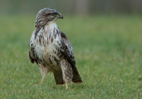 Eyes left - Common Buzzard - light phase by Jamie-MacArthur
