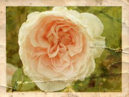 Vintage Garden - Cottage Rose by SamanthaLenore