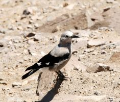 Clark's Nutcracker by MogieG123
