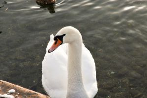 The Swan by 666copperhead666