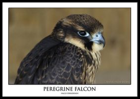 Peregrine Falcon by THEDOC4