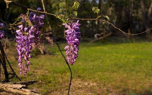 wisteria in blewmz by RyoThorn