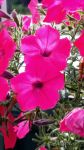 Perfect Pink Petunias Posing by JMPorter