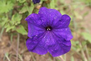 Close-Up Purple Flower by Kitty1205