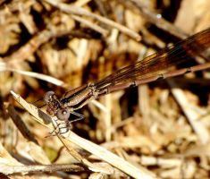 Damselfly by duggiehoo