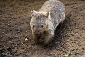 Wombat by DanielleMiner