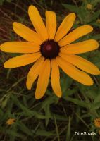 Wild Yellow Daisy by thedirestraits