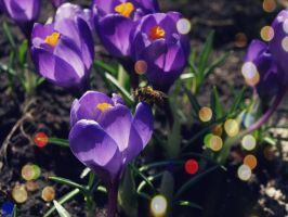 Bee and crocus. by k2ff