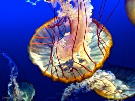 West Coast Sea Nettle 2 by brittanyfay