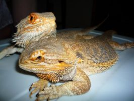bearded dragons by asexualgoddess