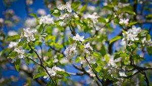 apple tree by trausse