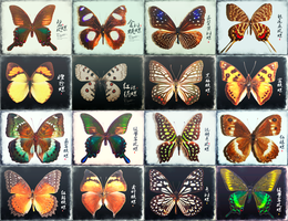 Butterfly PNG*31 by LeEight