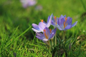 spring crocuses 2 by wickedgame5