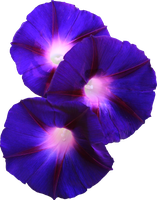 Grandpa Ott Morning Glory PNG by Thy-Darkest-Hour