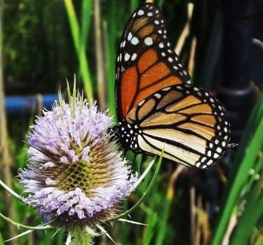 Viceroy Butterfly by AppleBlossomGirl