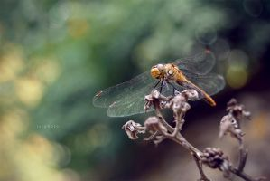 Dragonfly! by Zoroo