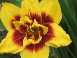 Red and Yellow Lily 3 by Jyl22075