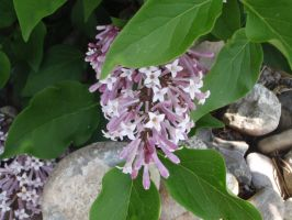 Lilacs and rocks by GodessFae