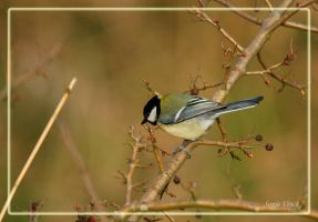 Another Great Tit by Lentekriebel