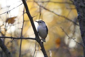 White-breasted Nuthatch by Kasionn