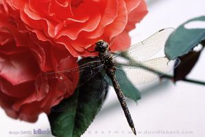 Dragonfly and Roses by photoscot
